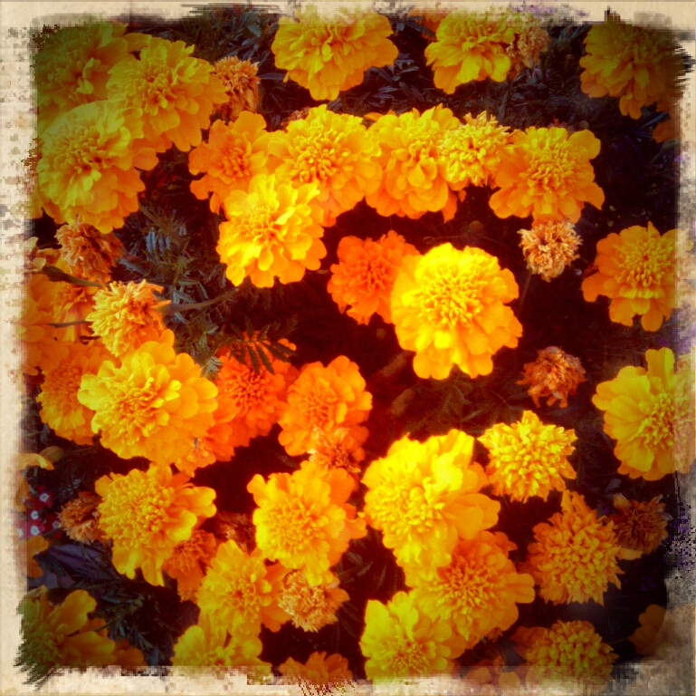 Gallery For u0026gt; Day Of The Dead Marigolds Art