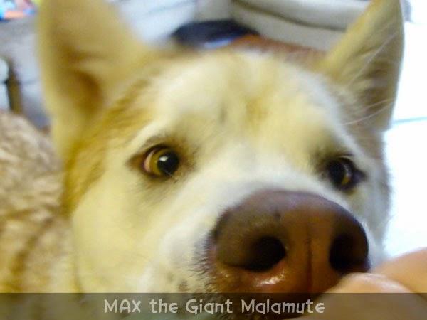 Giant Malamute