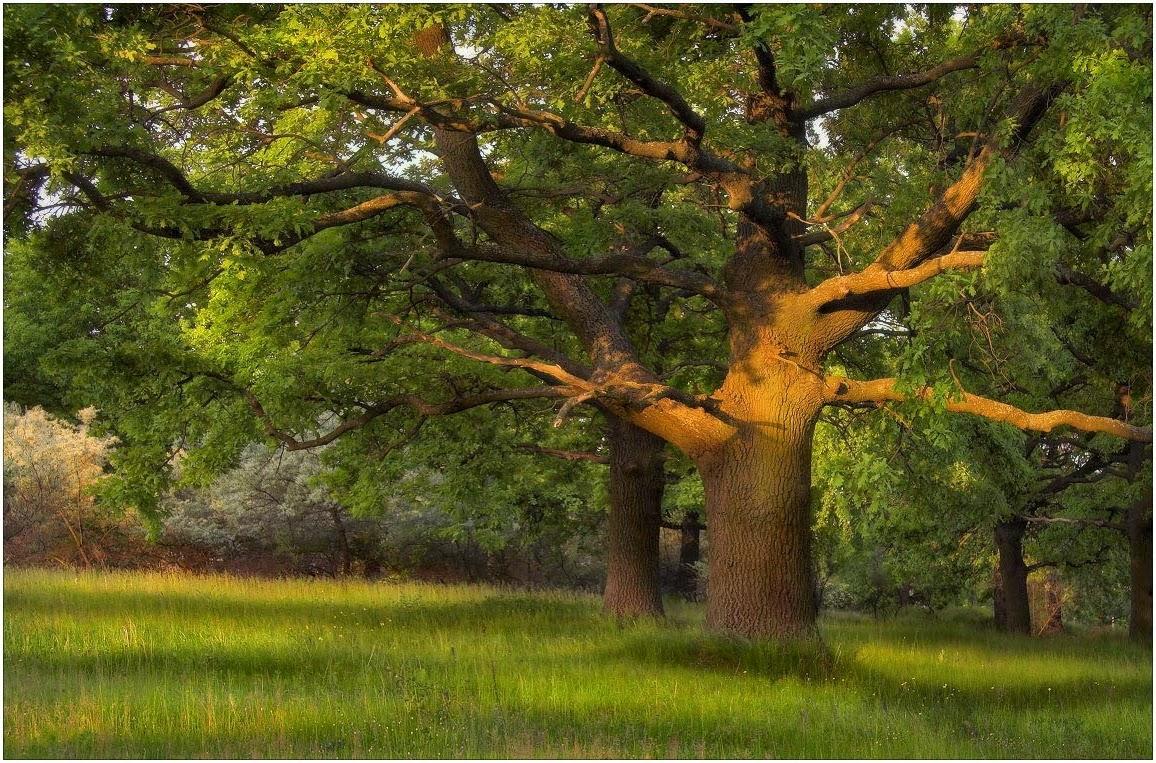 Что символизировал дуб в древние времена?