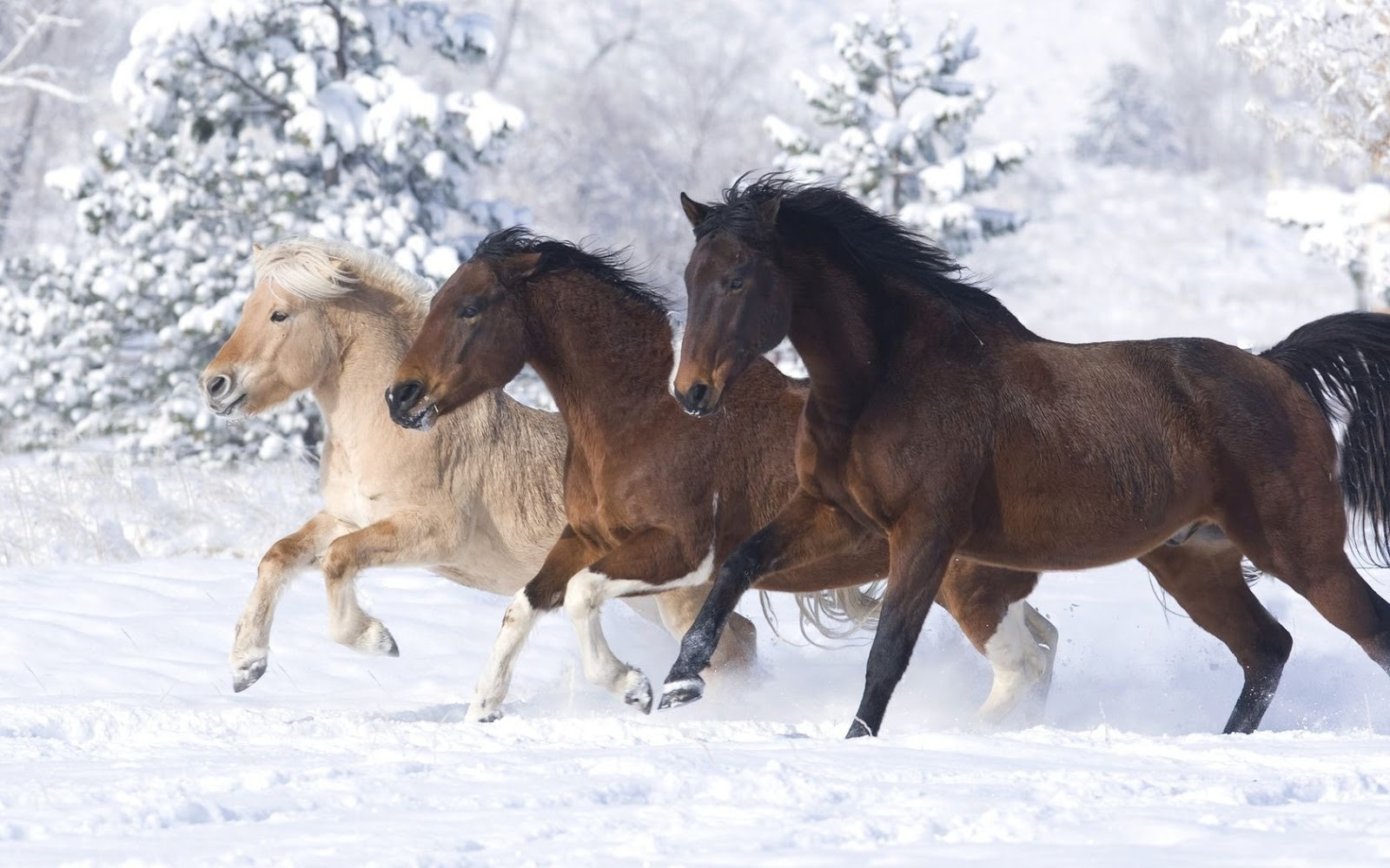 Good   Wallpaper Horse Dark Brown - Running+White+Horse+In+Snow+wallpaper+(1)  You Should Have_46378.jpg