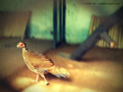 birds, female silver pheasant, hen, brown bird