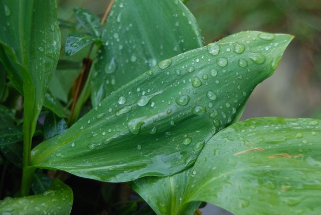 Rain drops on the waxy Lily-of-the-valley (Convallaria majalis) foliage.