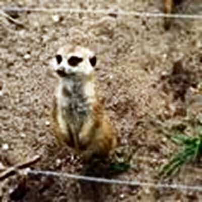 Meerkat looking at a wire fence