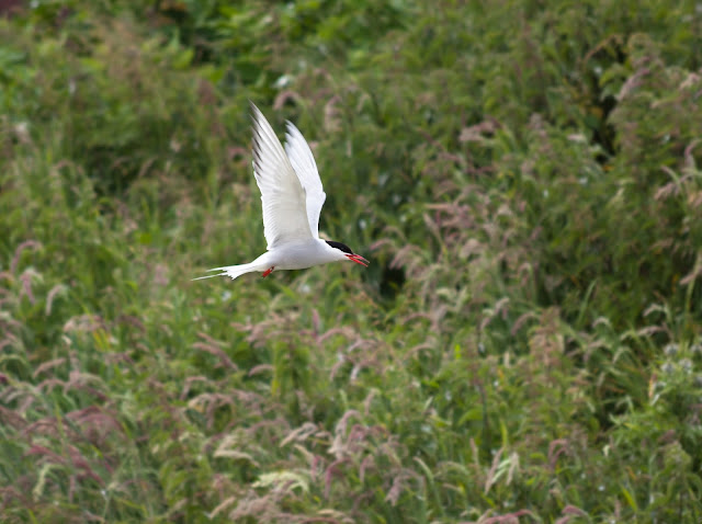 Tern - Farne Islands, Northumberland