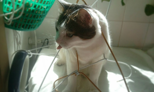 kitten stucks in hanger, funny cat pictures, funny cats