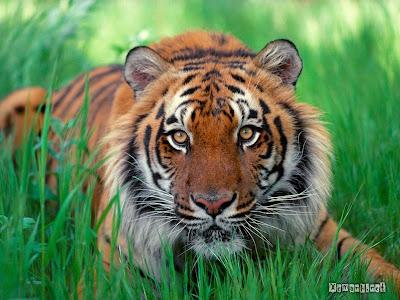 Xem hinh anh dep về con hổ