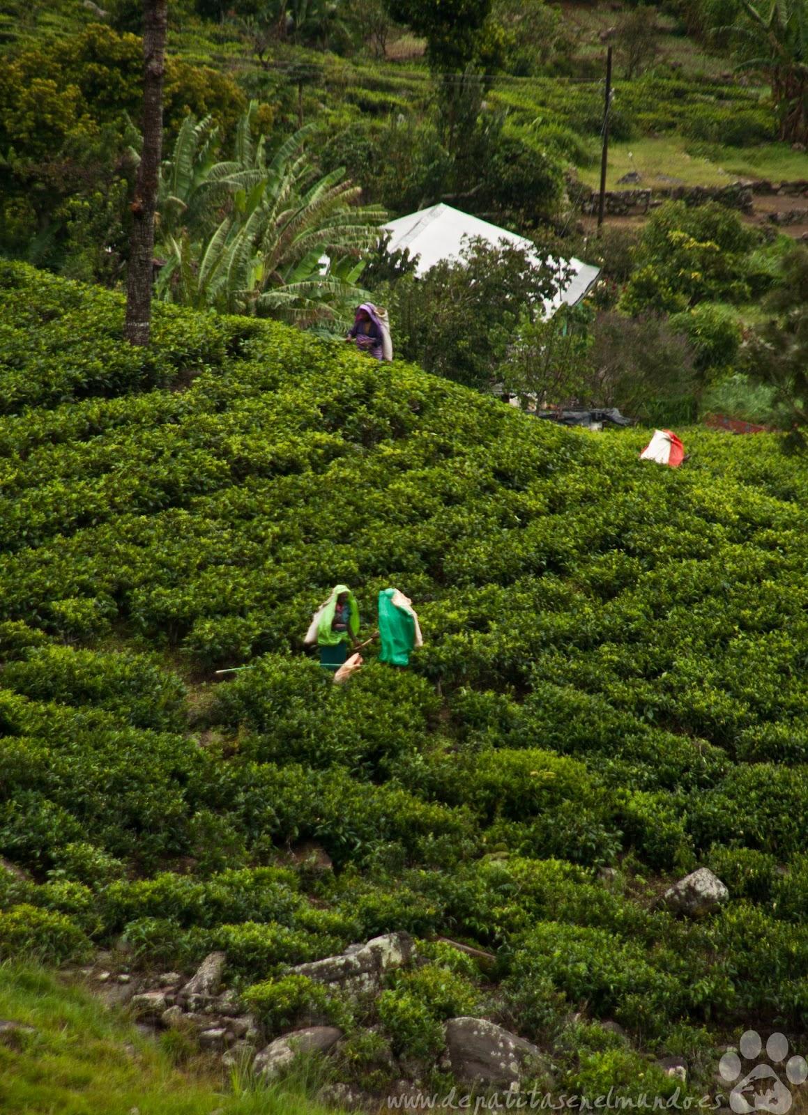 Recolectoras de té en Haputale