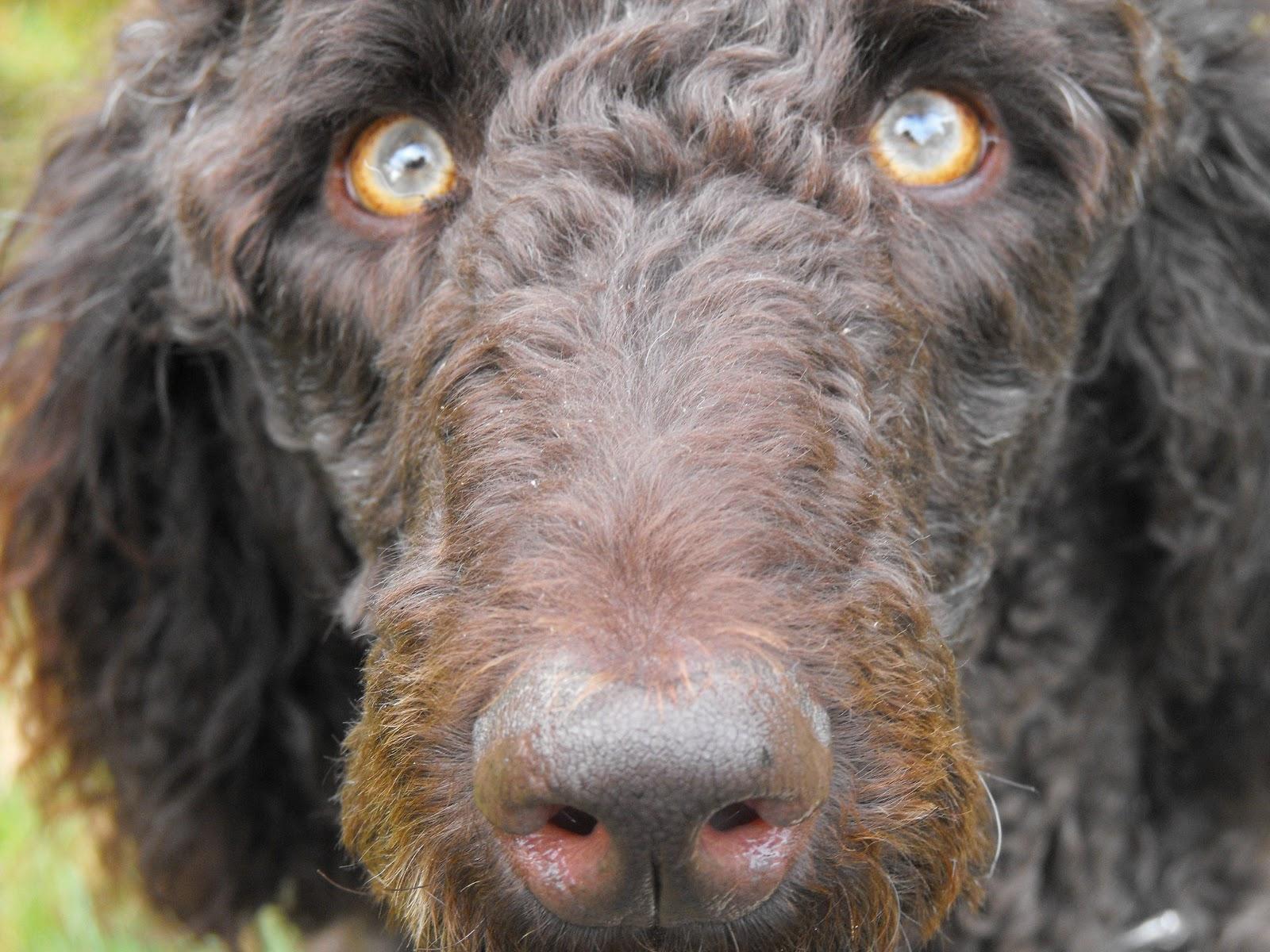 Sad Puppy Dog Eyes Begging Wallpaper Desktop HD