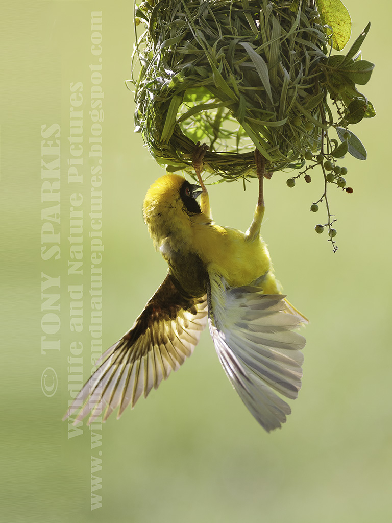 Southern Masked Weaver (Ploceus velatus) clinging upside down on his grass nest