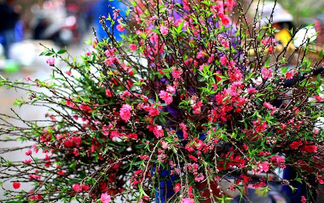 Hoa Dao - Tet Festival Vietnam