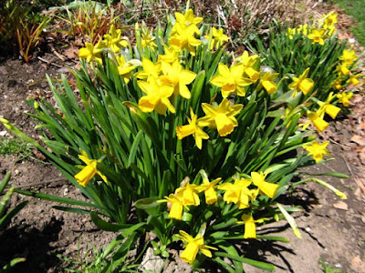 Yellow daffodils in bloom at Paul Kane House gardens by garden muses: a Toronto gardening blog
