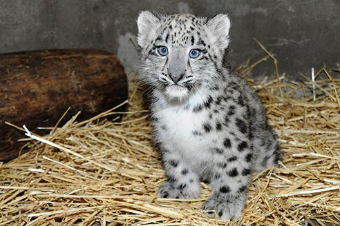 Baby white leopard - photo#14