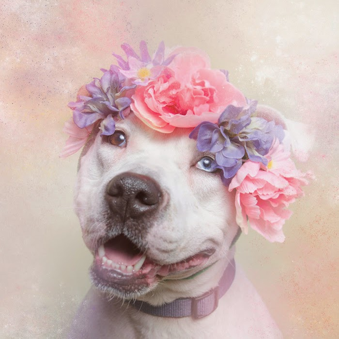 The cutest pitbulls ever dressed in flower crowns.