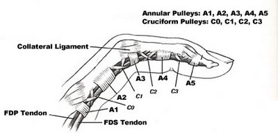 Tom\'s Physiotherapy Blog: Finger and Hand Anatomy, and Grip