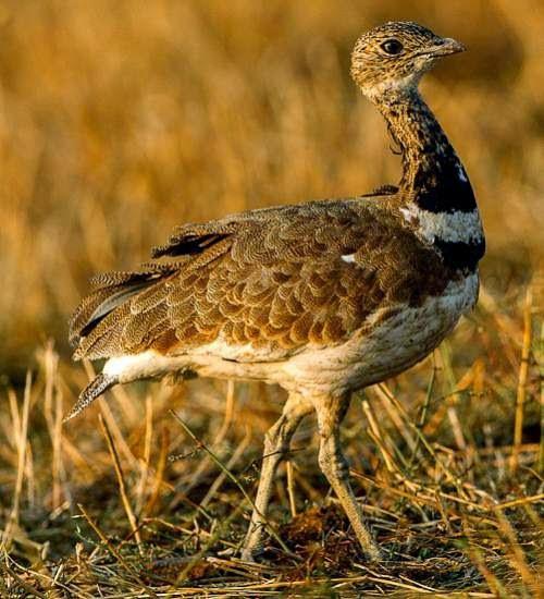 Indian birds - Image of Little bustard - Tetrax tetrax