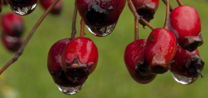 water droplets hanging from red berries with olive green background
