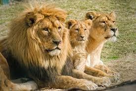 FAMILIA DE LEONES AFRICANOS