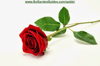 Picture of a Red Rose Laying on White Background