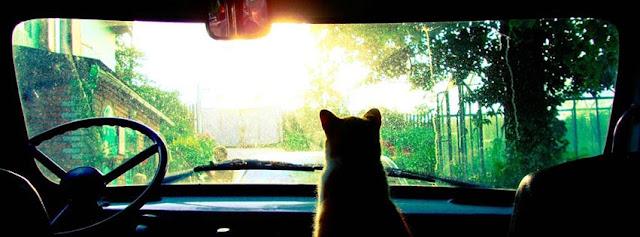 Cat in Car