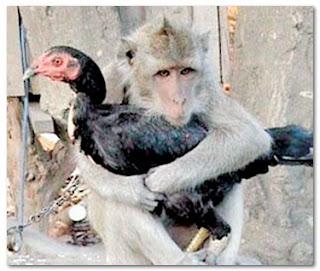 cinta-monyet