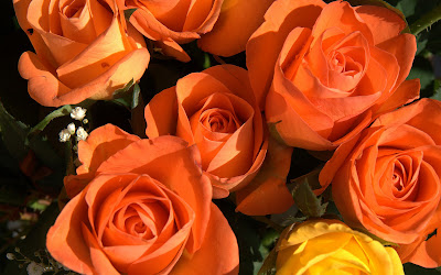 Orange roses wallpapers with yellow rose