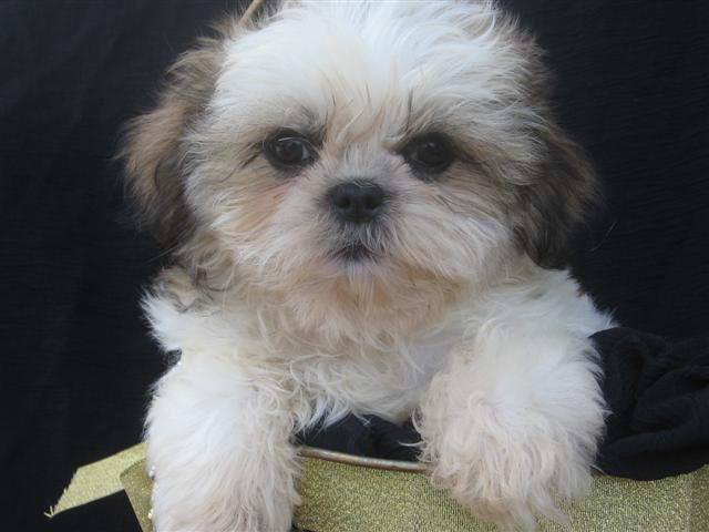 Shih Tzu Puppy Pictures Information