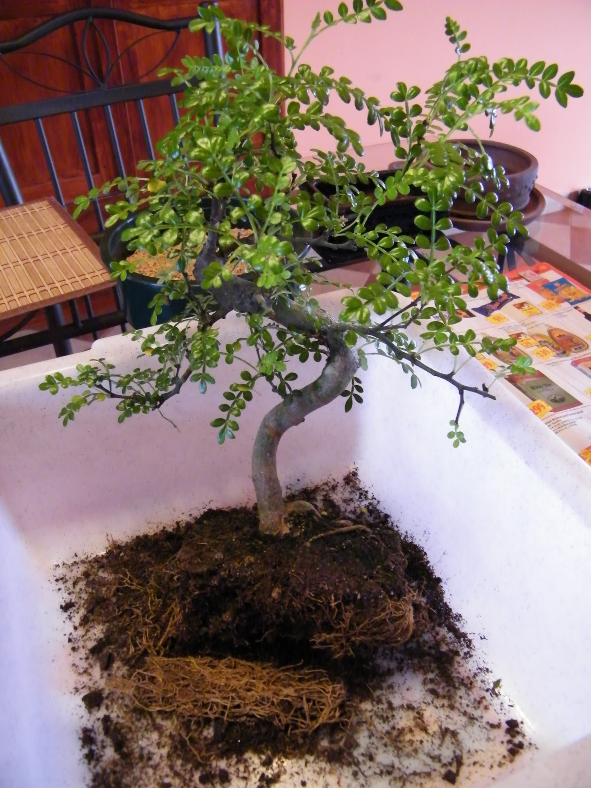 GERY BONSAI