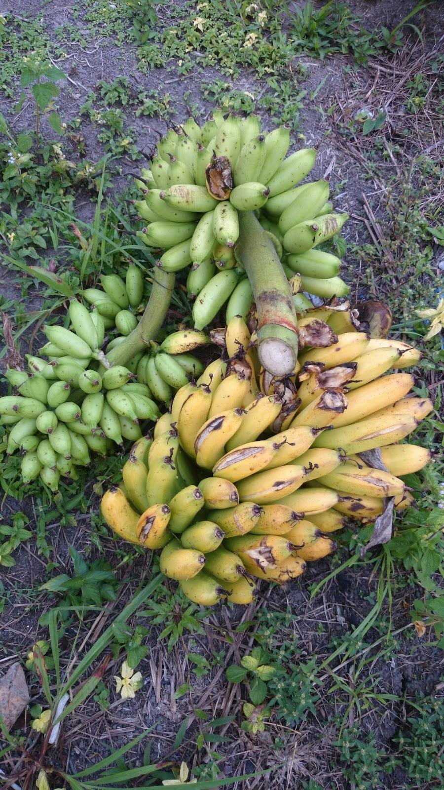 Tuaian Sayuran Dan Buah Pertengahan Tahun Di Kg Kebun Getah Bawang Dayak Segar Setengah Kilo Beginilah Hidup Berjiran Berkongsi Dengan Hidupan Sini Nasib Kawanan Monyet Belum Ke Mari Jika Ya Habis Pisang Ini Tanpa Meninggalkan Sebiji Dua
