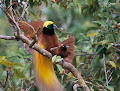 Bird-of-paradise Picture and Photo 24