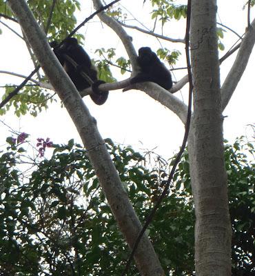 mantled howlers in Nicaragua