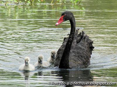 Black Swan (Cygnus atratus)