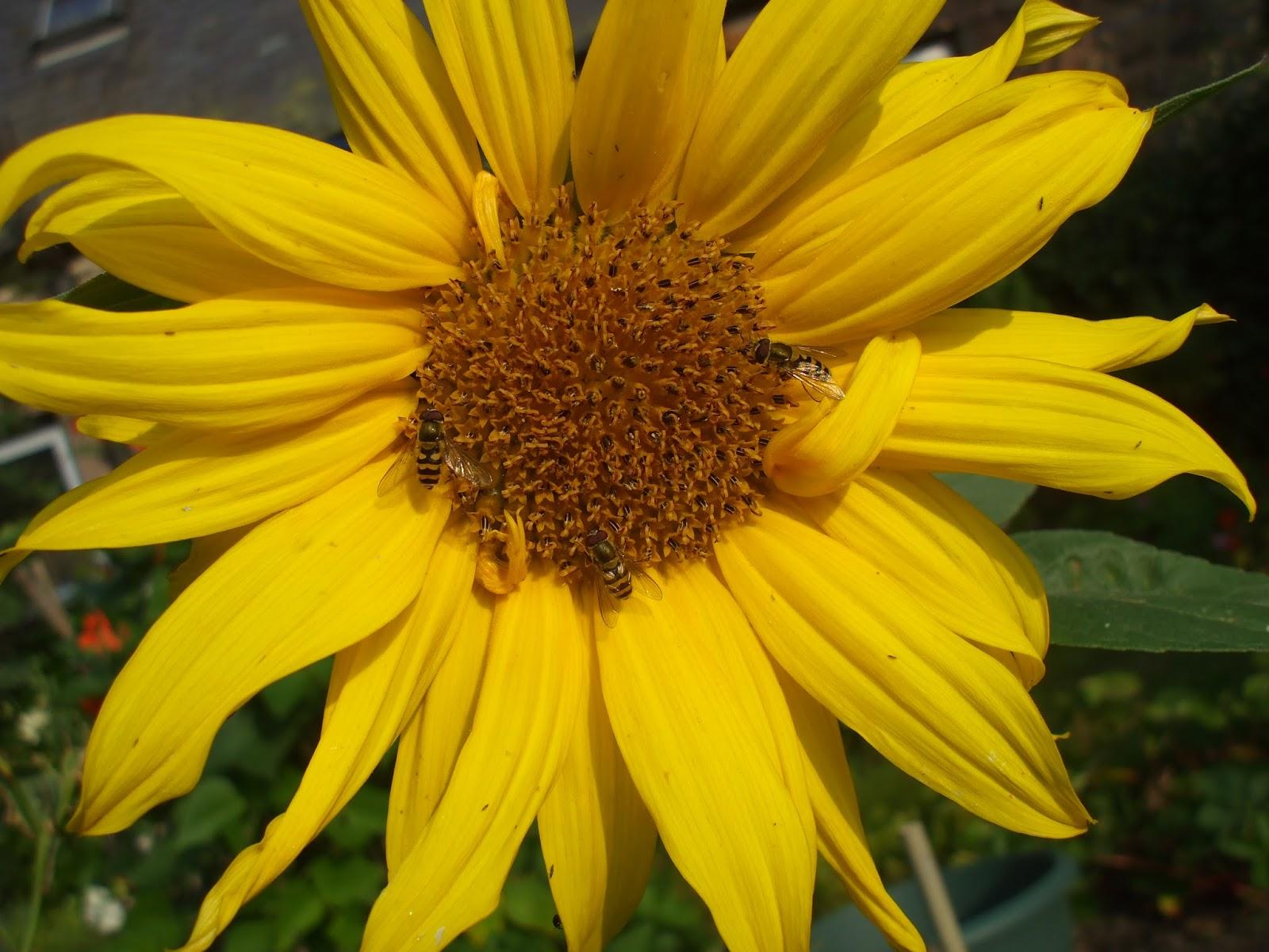 sunflower aug 2013 seapenguin