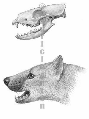 Miacis skull