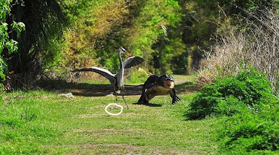 Heron Steals Baby Alligator Seen On www.coolpicturegallery.us