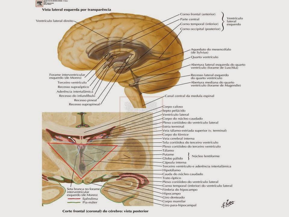 Liga de Anatomia ULBRA: DIENCÉFALO