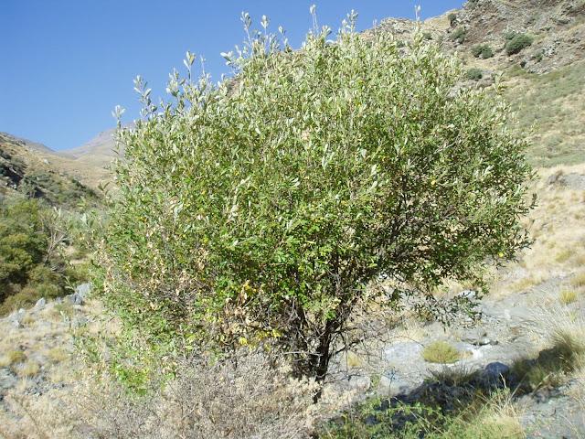 SAUCE NEGRO: Salix atrocinerea