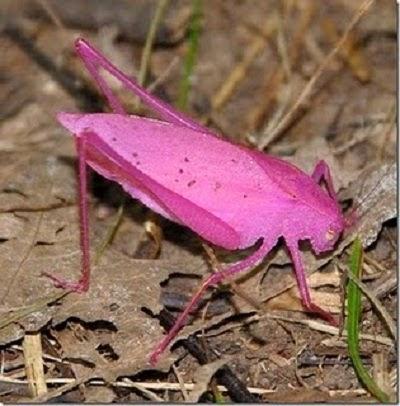 belalang langka berwarna pink