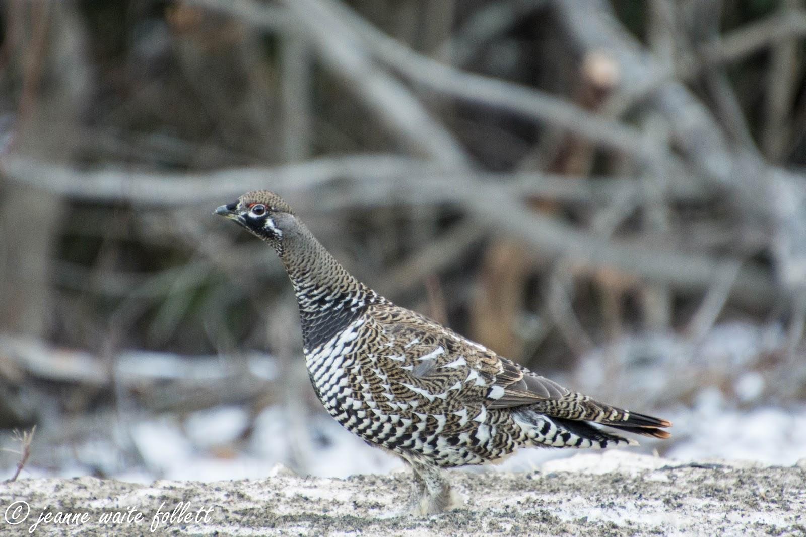 Common pheasant  Wikipedia