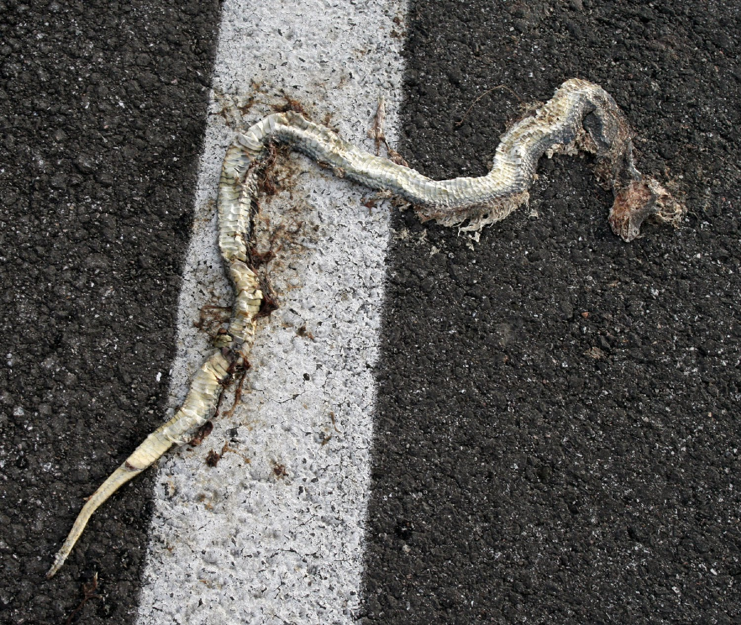 Squished snake on the road