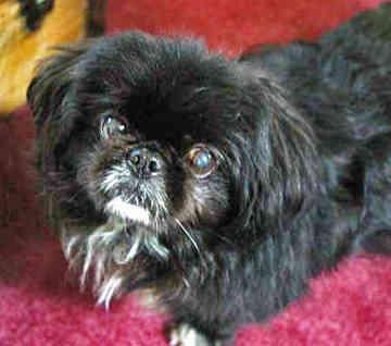 Siberian Husky Quebec Cute Dogs: Black Pekin...