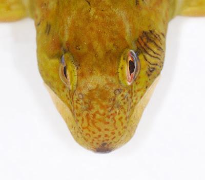 Shanny Lipophrys pholis head