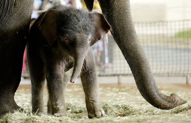 Baby elephant Anchali born at Berlin zoo, cute baby elephant pictures