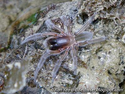 Marine Spider (Desis martensi)
