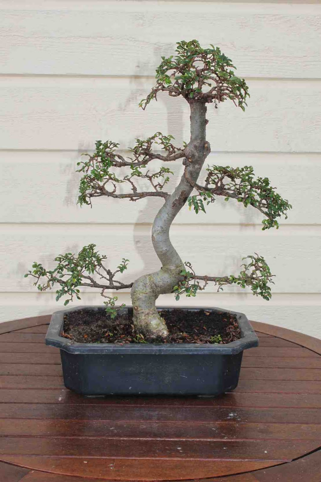 Raisio Bonsai Zelkova 1