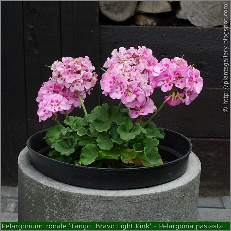 Pelargonium zonale 'Tango  Bravo Light Pink' habit - Pelargonia pasiasta  'Tango  Bravo Light Pink'  pokrój