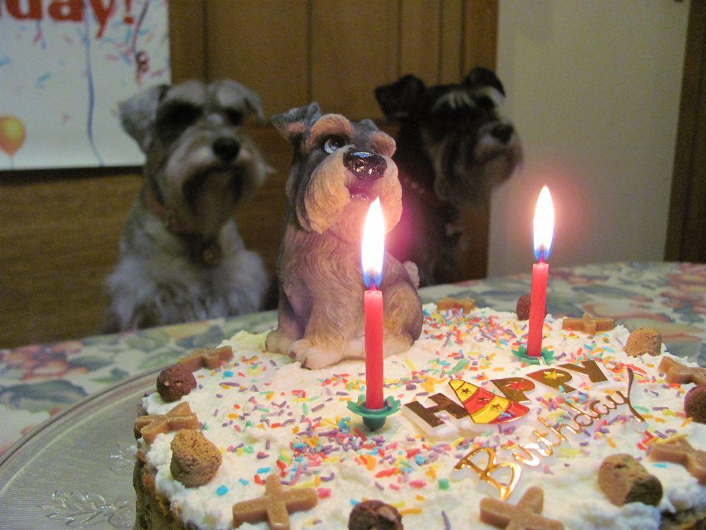 Birthday Cakes For Dogs In Massachusetts ~ Rubie a miniature schnauzer: my 2nd birthday