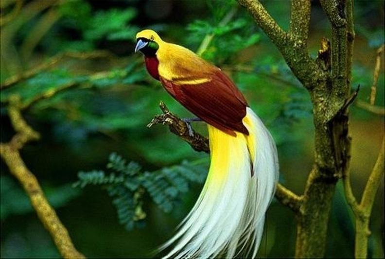 Burung Cendrawasih Hewan tipe Australia