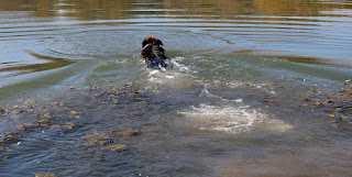 Swimming out after his stick