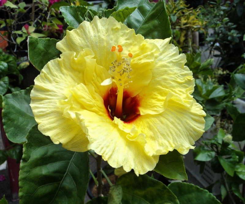 yellow hibiscus plant - photo #10