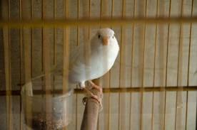 kenari putih/albino